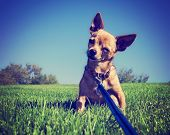 a tiny chihuahua on a grassy hill toned with a retro vintage instagram filter effect