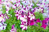 Purple And White Petunia Flowers Outdoor