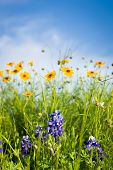 picture of bluebonnets  - Texas bluebonnets and sunflowers on a sunny spring morning - JPG