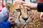 pic of cheetah  - people stroke the cheetah in the zoo  - JPG