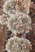 picture of lichenes  - Lichen detail in a rock background in a warm tone - JPG
