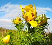 pic of adonis  - Plant of the adonis spring with bright yellow flowers - JPG