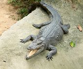 image of alligator  - Close up of an Alligator - JPG