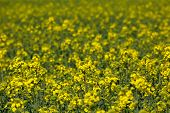 image of rape-seed  - Blooming canola field  - JPG
