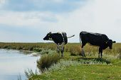 picture of sea cow  - Two Holstein Frisian cows standing near water on Schiermonnikoog. ** Note: Soft Focus at 100%, best at smaller sizes - JPG