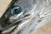 image of spearfishing  - mediterranean spearfish macro detail of silver head - JPG