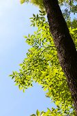 pic of ash-tree  - Ash tree  - JPG