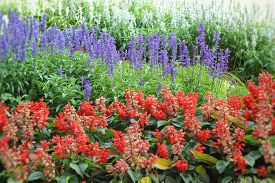 stock photo of clary  - Purple salvia flowers - Red flower wth the nature ** Note: Shallow depth of field - JPG