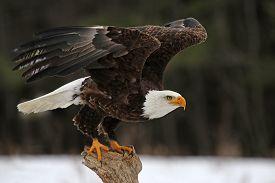 stock photo of eagles  - A Bald Eagle  - JPG