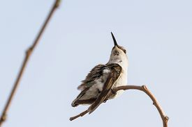 picture of hummingbirds  - Adult female hummingbird perched on a small branch grooming herself - JPG