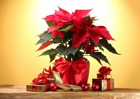 foto of poinsettia  - beautiful poinsettia in flowerpot - JPG