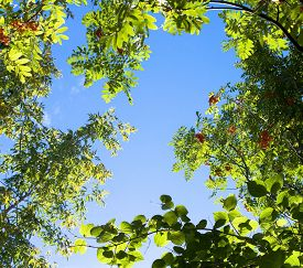 stock photo of mountain-ash  - Tree branches of mountain ash on the blue sky - JPG