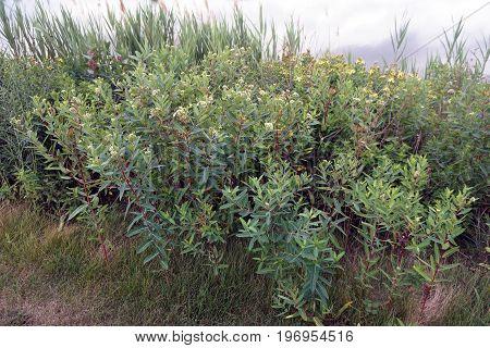Dogbane Apocynum cannabinum