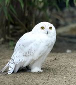 retrato de uma coruja da neve bela