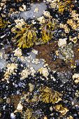 picture of pacific rim  - Mussels and barnacles at low tide on sea floor in Pacific coast of Canada - JPG
