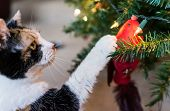 Calico Cat Reaching For Meat Treat On Decorative Cardinal Bird On Christmas Tree poster