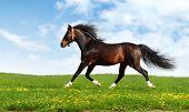 caballo árabe trots - fotomontaje realista