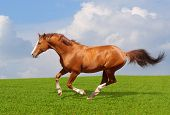 Sorrel trakehner stallion gallops in field