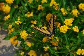 Yellow Butterfly With Yellow Flowers