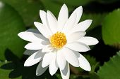 White_water_lilly