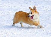 stock photo of corgi  - Dog breed Welsh Corgi Pembroke runs through snow - JPG