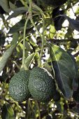pic of avocado tree  - Avocado Tree 1 - JPG
