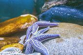 Starfish Under Water On A Stone Against The Background Of Fish poster