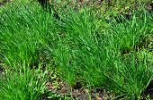 Spontaneously Growing Young Green Garlic In Early Spring. poster