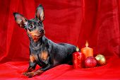 foto of miniature pinscher  - Miniature Pinscher on a red background - JPG
