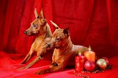 foto of miniature pinscher  - Miniature Pinschers on a red background - JPG