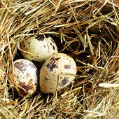 image of bird-nest  - Nest with three quail eggs close up - JPG