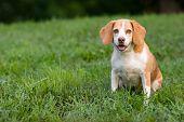 Cute Beagle Watching You