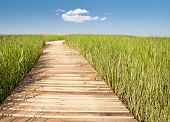 stock photo of puffy  - Wooden boardwalk creates path through field of tall green grass leading to blue sky and puffy whote cloud - JPG