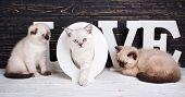 Scottish Straight And Scottish Fold Kittens. Three Purebred Kittens On A Dark Background. Valentine poster