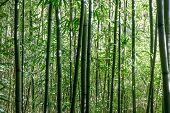 Bamboo Trees In Japanese Tea Garden. San Francisco, California, Usa. poster