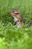 Chipmunk (Eastern)