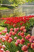 Tulpe Garten, Keukenhof, nl