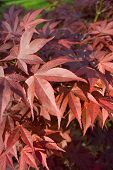 Red Maple Leaf Tree Background