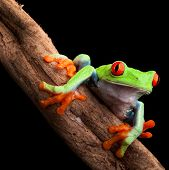 red eyed tree frog at night in tropical rainforest treefrog Agalychnis callydrias in jungle Costa Rica bright vivid colors beautiful exotic rain forest animal