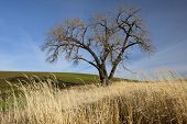 Large Tree In The Palouse.