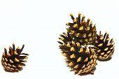 Pine Strobiles