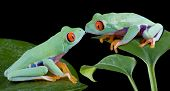 stock photo of red eye tree frog  - Two baby red - JPG