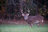 stock photo of cade  - Large whitetailed deer feeding in an open meadow - JPG