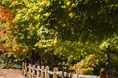 foto of split rail fence  - Many maple trees with fall colors beside a split rail fence - JPG