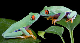 picture of red eye tree frog  - Two baby red - JPG