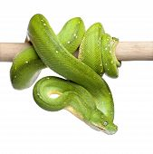stock photo of green tree python  - green tree python looking down  - JPG
