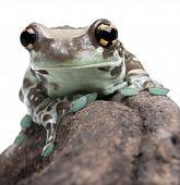 Amazon Milk Frog - Trachycephalus Resinifictrix