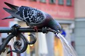image of gushing  - Pigeon drinking water on a hot summer day - JPG