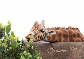 Giraffe Trying To Reach Plant With His Tongue. Isolated.