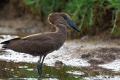 picture of marshes  - A profile of a Hammerkop wading in a marsh - JPG